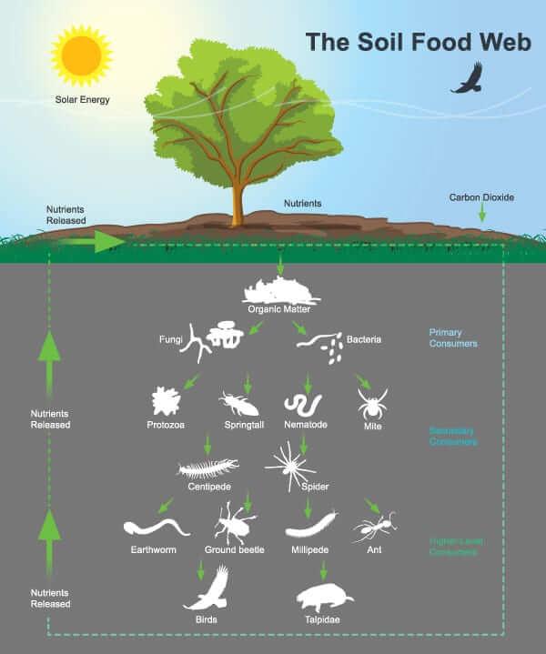 Diagram of the soil food web