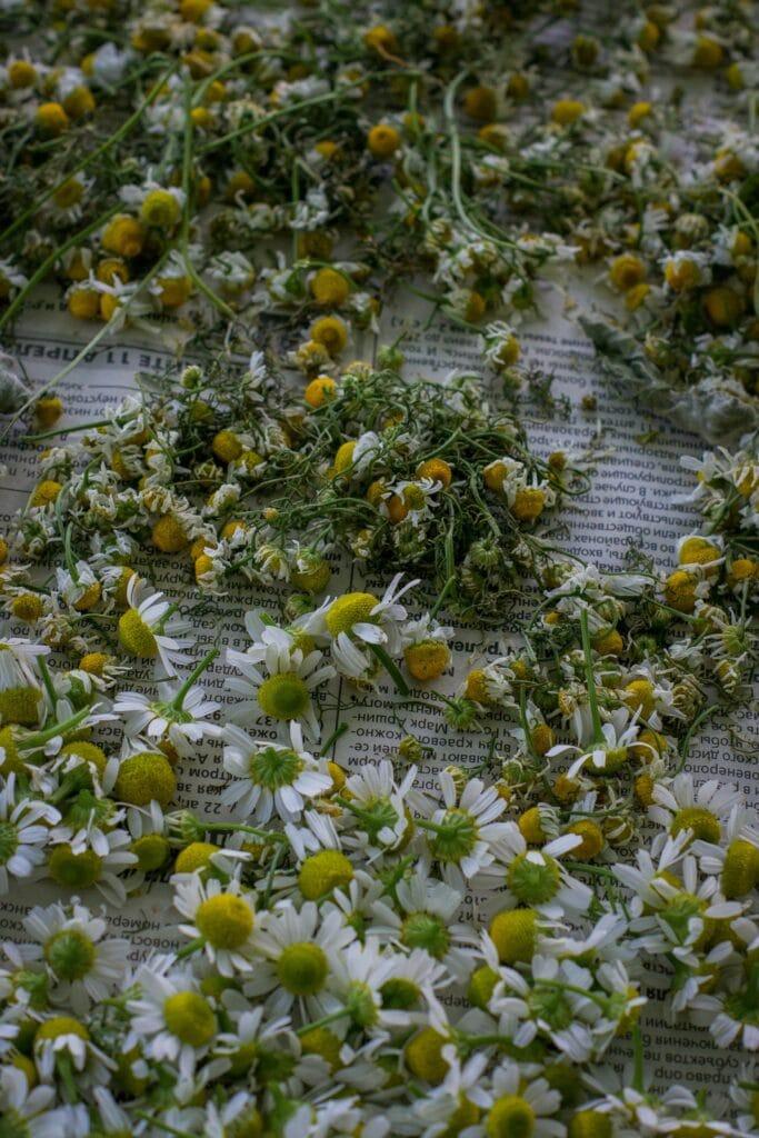 Image of dried chamomile
