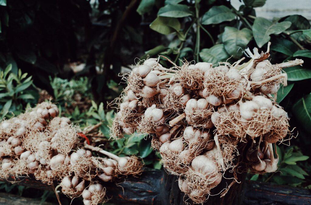 Image of harvest garlic bulbs