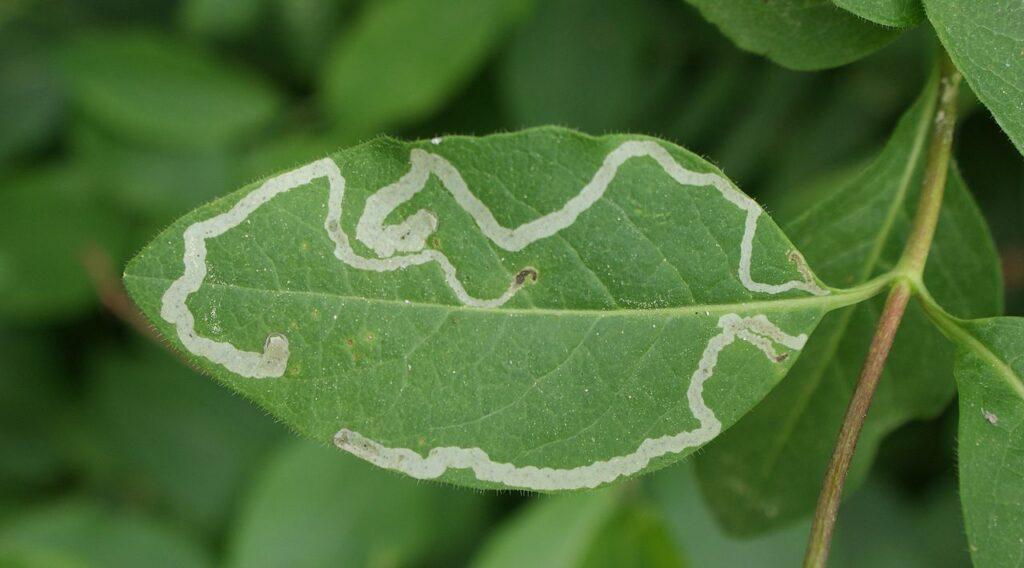 Leaf miner damage in a leaf; fight garden pests naturally